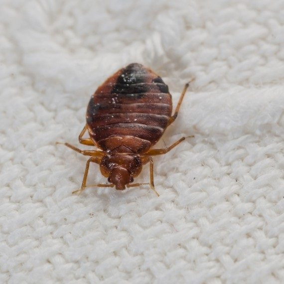 Bed Bugs, Pest Control in Kensington, W8. Call Now! 020 8166 9746