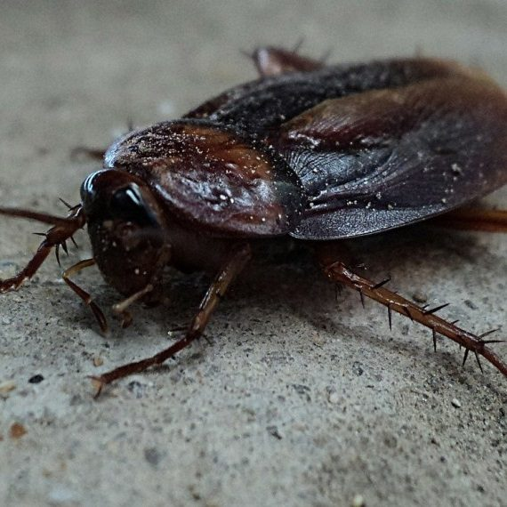 Cockroaches, Pest Control in Kensington, W8. Call Now! 020 8166 9746