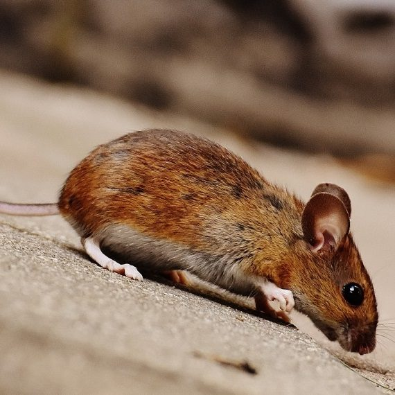 Mice, Pest Control in Kensington, W8. Call Now! 020 8166 9746