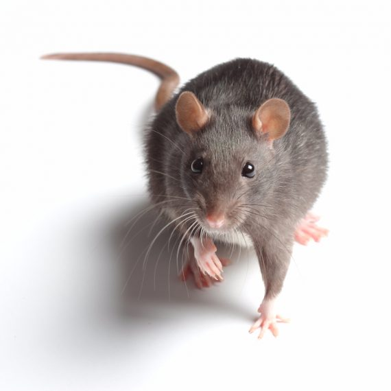 Rats, Pest Control in Kensington, W8. Call Now! 020 8166 9746