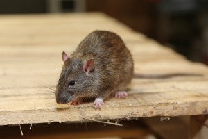 Rodent Control, Pest Control in Kensington, W8. Call Now 020 8166 9746